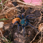 Chromatopelma cyaneopobuscens female