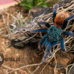 Chromatopelma cyaneopobuscens male