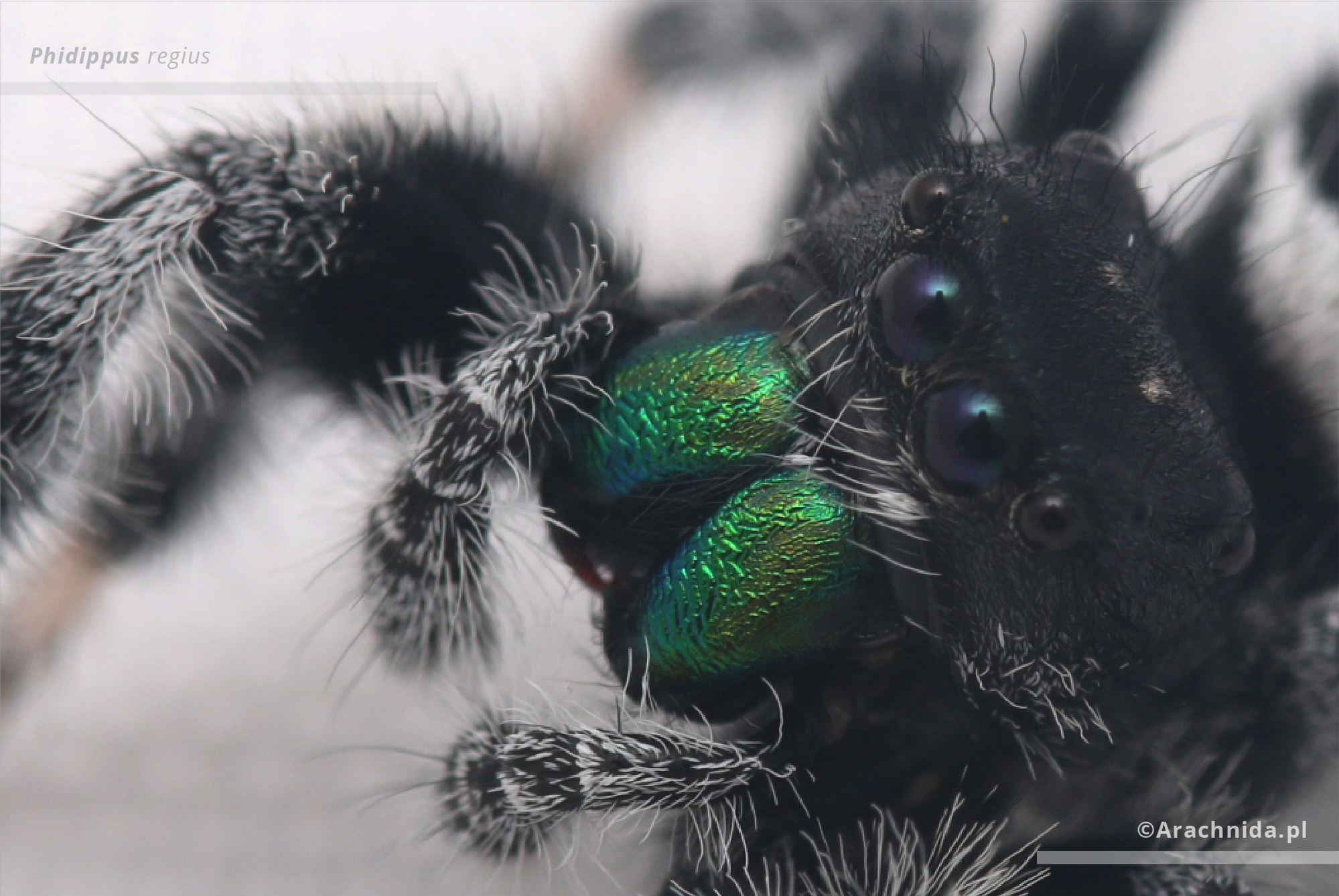 Phidippus regius adult male