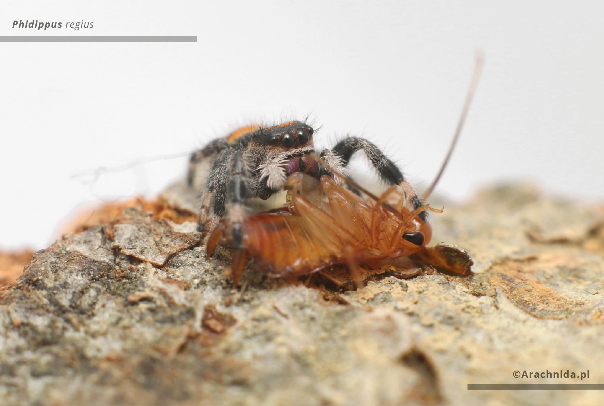 Phidippus regius eating