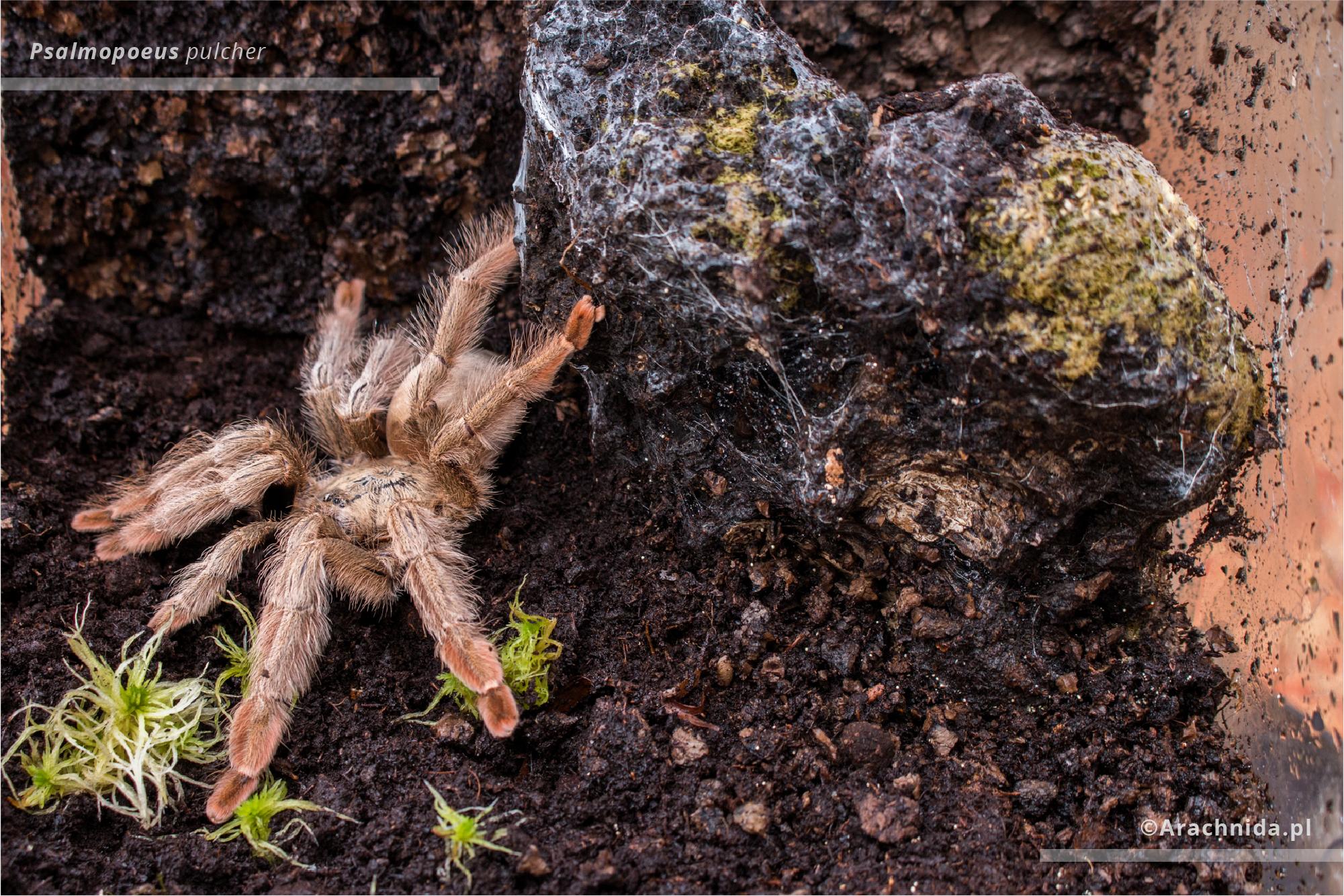 Psalmopoeus pulcher adult female terrarium