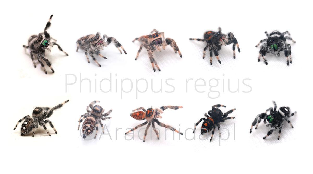 Phidippus regius morphs